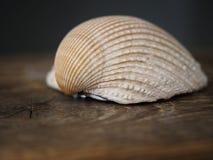 seashell Στοκ Εικόνες