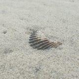 seashell Στοκ Φωτογραφία