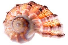 Seashell aislado foto de archivo