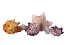 Seashell aislado Imagen de archivo