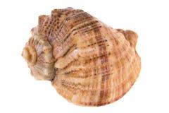 Seashell aislado en blanco Imagenes de archivo
