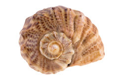 Seashell aislado en blanco Foto de archivo
