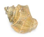 Seashell aislado en el fondo blanco foto de archivo libre de regalías