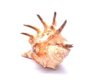 Seashell aislado en el fondo blanco Fotos de archivo libres de regalías