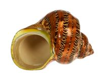 Seashell aislado en el fondo blanco Imagenes de archivo