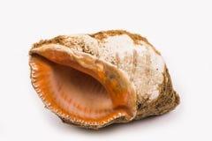 Seashell en un fondo blanco Imagenes de archivo