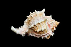 Seashell au-dessus de #11 noir (conque) Photos libres de droits
