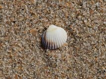 Seashell auf sandigem Strand Lizenzfreies Stockbild