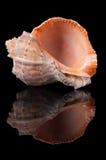 Seashell auf Schwarzem stockfoto