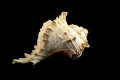 Seashell auf Schwarzem Lizenzfreies Stockfoto