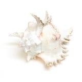 Seashell auf weißem Hintergrund lizenzfreie stockfotografie