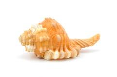 Seashell auf weißem Hintergrund Stockfotos