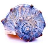 Seashell azul Fotografía de archivo