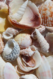 Seashell Background - Pile of many shells, conch, spiral, periwinkle Royalty Free Stock Photo
