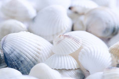 Seashell background Stock Image