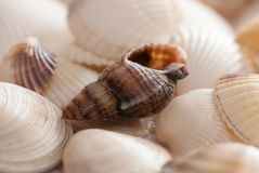 Seashell background with shallow depth Royalty Free Stock Photography