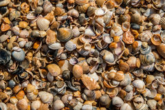 Seashell background, small seashels, close up. Seashell background, photograph of small seashels, close up Royalty Free Stock Images