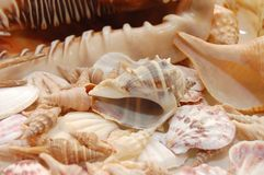 Seashell background with various kinds of shells Royalty Free Stock Photo