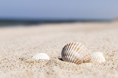 Seashell Baltic Sea Stock Images