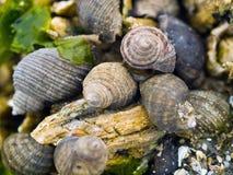 Seashell and Barnacles on Rocks Royalty Free Stock Photo