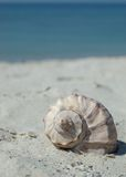Seashell on the beach Stock Image