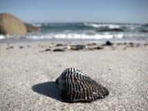 Seashell on beach. Black and white striped seashell on the beach Stock Photo