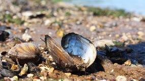 Seashell on the beach. Seashell coast tide sun ocean tropical bright summer sand nature oyster stone royalty free stock photography