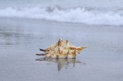 Seashell on the beach Royalty Free Stock Image