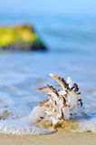 Seashell on the beach. Seashell on the seashore shoot in a natural background Stock Photography