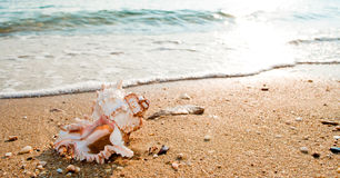 Seashell on the beach Stock Photography