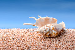 Seashell on a beach Royalty Free Stock Images