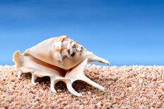 Seashell on a beach Royalty Free Stock Photos