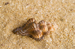 Seashell on beach Royalty Free Stock Images