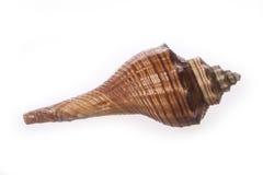 Seashell Royalty Free Stock Image