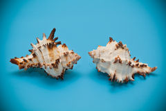 Seashell beige with brown spots and spikes Royalty Free Stock Photo