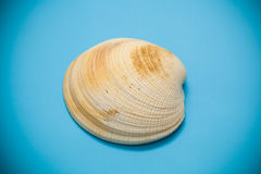 Seashell beige color Royalty Free Stock Photography