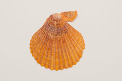 Seashell Royalty Free Stock Photo