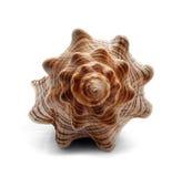 Seashell. Big spiral striped seashell  on white Stock Photos