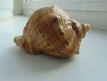 Seashell. Royalty Free Stock Image