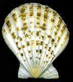 Seashell bivalves Stock Photo