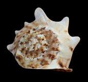Seashell on a black background. Aquatic natural ecology stock image
