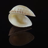 Seashell. On black mirroring background Royalty Free Stock Photography