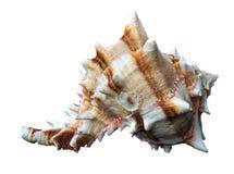 Seashell blanc photographie stock