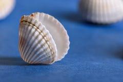 Seashell on a blue background. White seashell on a blue background royalty free stock photo