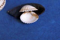 Seashell on a blue background. White seashell on a blue background royalty free stock images