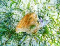 Seashell in Caribbean sea over white sand bottom Stock Images