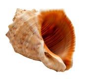 Seashell (clamshell) Royalty Free Stock Photos