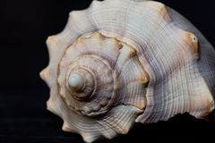 Seashell close. Macro image of the seashell on the black background Stock Photos