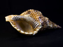 Seashell close up. Royalty Free Stock Images