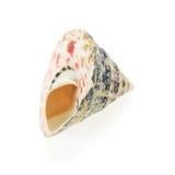 Seashell close up Royalty Free Stock Image